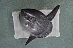 Zdjęcie na https://www.viapoland.com/ - portal informacyjny: Subtropikalna ryba w listopadowym Bałtyku